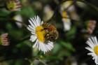 richardson bees PYHOOYA