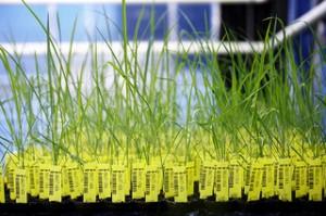 Richardson-GMOs-BASF - The Chemical Company
