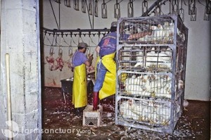 splc-chickens-Farm Sanctuary