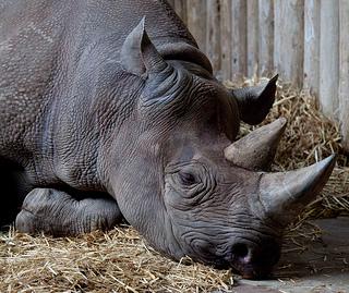 These Rhinos Need Their Own Guns