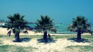 Jeju Island Palm Trees