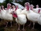 group-turkey-factory-farm-antibiotics