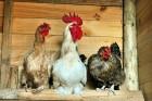 chicken-coop-healthful-science