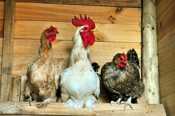 chicken-coop-healthful-science
