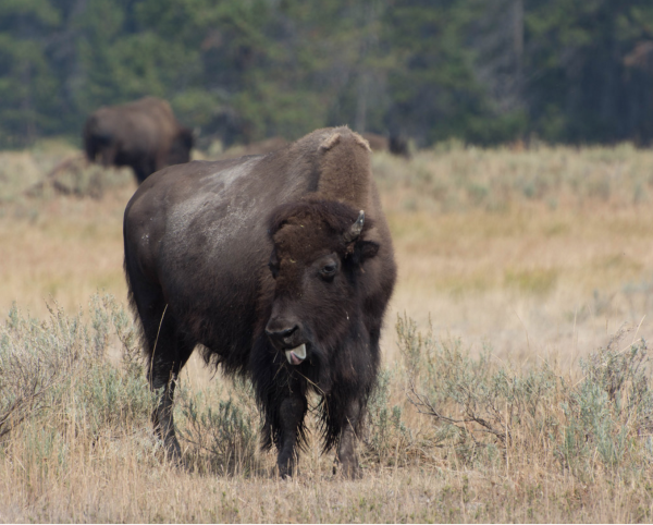 bison-national-parks