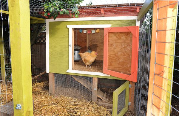 raising-urban-chickens