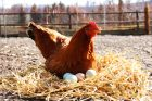 hens-chickens-egg-organic-farm