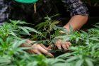 legalize-marijuana-legalization-medicinal-recreational-farming