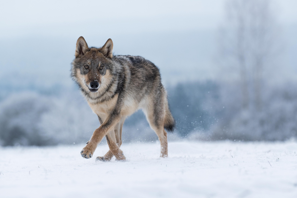The Fraught Politics of Wolf Hunting